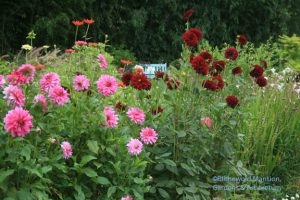 Cutting Garden dahlias - Arabian Knight on the right and ?? pink on the left...