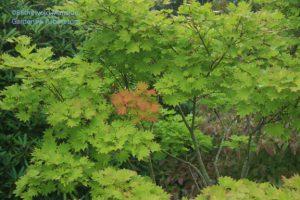 Acer shirasawanum 'Aureum' - Full moon Japanse maple