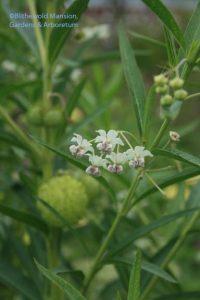 Gomphocarpus physocarpa