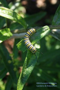 Monarch caterpillar munching on an asclepias