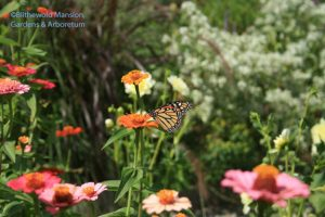 Monarch tasting the zinnias