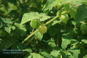 Ground cherries are ripe when they fall to the ground - or just before.