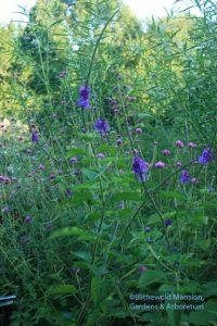 Stachytarpheta jamaicensis - Porter weed