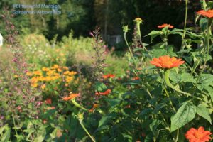 Tithonia in the evening