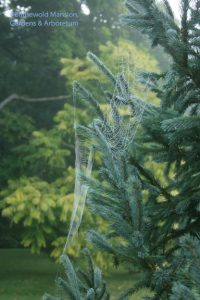 Picea engelmannii - Engelmann spruce and the Toon behind