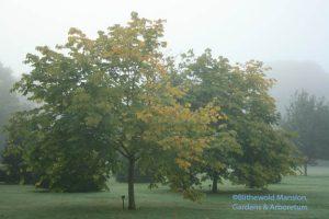 Cladrastus kentukea 'Sweet Shade' Kentucky yellowwood