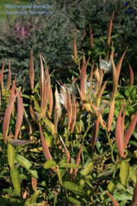 butterfly weed pods (Asclepias tuberosa)