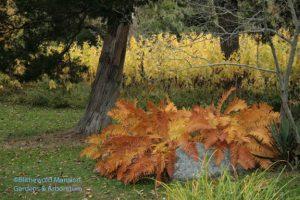 Cinnamon fern (Osmunda cinnamomea) - and Jerusalem artichoke in the back