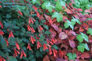 Fuchsia 'Gartenmeister Bonstedt', Coleus and Peppermint geranium