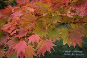 Full moon Japanese maple (Acer shirasawanum 'Aureum')