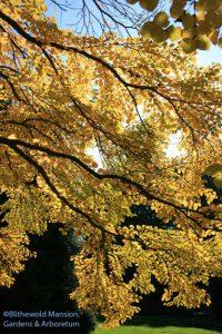 Katsura (Cercidiphyllum japonicum)