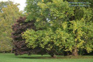 Japanese maple and the Osage orange (Maclura pomifera)