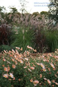 Chrysanthemum 'Sheffield Pink', Pennisetum ruppelianum and P. setaceum 'Rubrum'