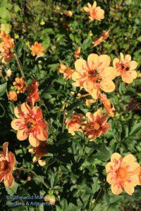 Dahlia 'Pale Tiger' in the Rose Garden
