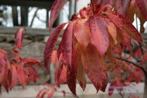Sourwood (Oxydendrum arboreum)