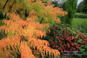 Tiger eye sumac's flash-orange fall color and Fuchsia triphylla 'Gartenmeister'