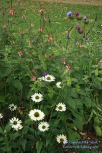 Echinacea 'Virgin', Stachytarpheta mutabilis (pink porterweed) and a cardoon
