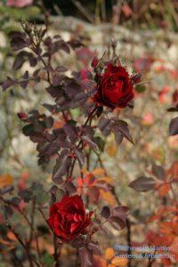 Rosa 'Champlain' - November color