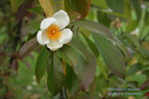 Franklinia alatamaha flower in the fall
