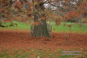 still life with Bald cypress (Taxodium distichum)