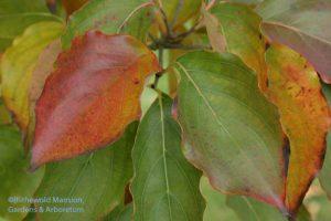 Kousa dogwood (Cornus kousa)