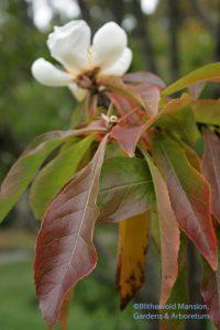 Franklinia alatamaha (still in bloom)