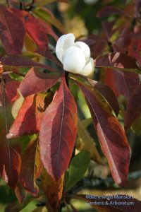 Franklinia color contrast