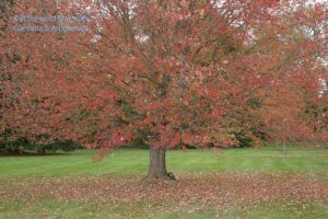 Red maple carpet