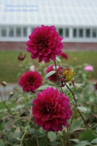 mid-November dahlias