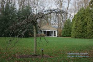 Camperdown elm and the Summerhouse