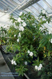 Impatiens sodenii - Poor man's rhododendron