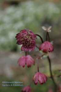 Astrantia major 12-14-09
