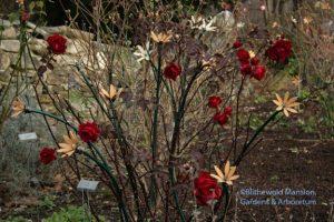 Rosa 'Champlain' and Rose Garden high-lights