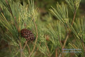 dragon's eye pine and cone (Pinus densiflora 'Oculus-Draconis')