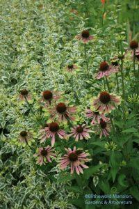 Echinacea 'Green Envy' 7-30-09