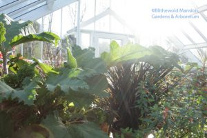 Gunnera and phormium - December