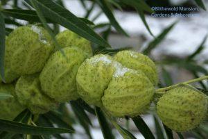 "Gomphocarpus physocarpus (""hairy balls"") in the snow"