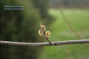Witch hazel - Hamamelis virginiana blooms past bloom