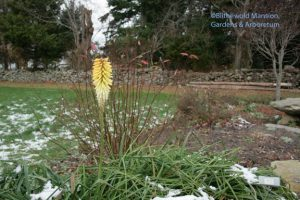 opportunistic Kniphofia 12-7-09