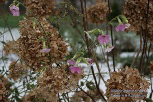 The last Nicotiana mutabilis