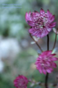 Astrantia major blooming on a windy 12-10-09