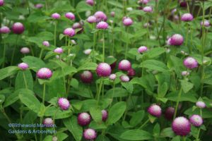 Gomphrena 'Bi-Color Rose'