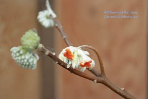 Julie's Edgeworthia chrysantha just opening