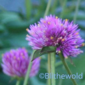 Gomphrena 'Fireworks' close-up 9-15