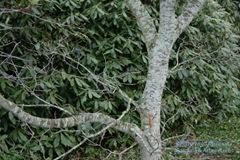 Cut leaf full moon maple trunk and a rhody