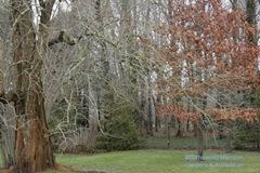 Osage orange and a Red oak