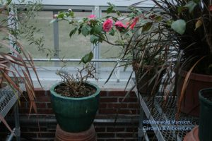 fuchsia - after (with a Camellia 'Chandleri Elegans' blooming overhead)