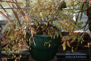 fuchsia - before (F. magellanica 'Aurea')