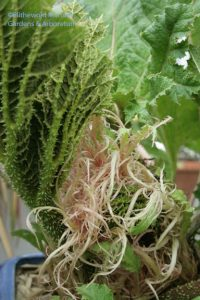 gunnera leaves?