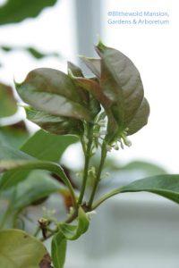 Sweet olive (Osmanthus fragrans)
